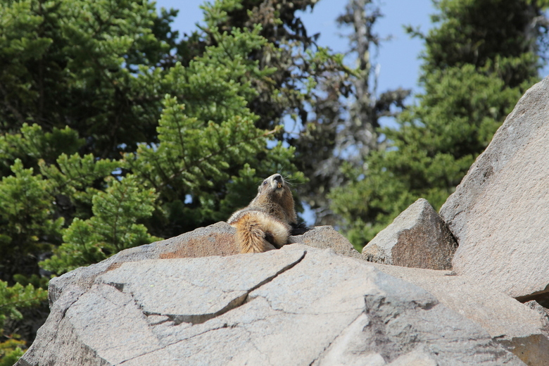 Marmot at Mount Rainier Washington - Papa zat lekker op de uitkijk ...