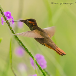 Rode kolibrie drinkt verse nectar