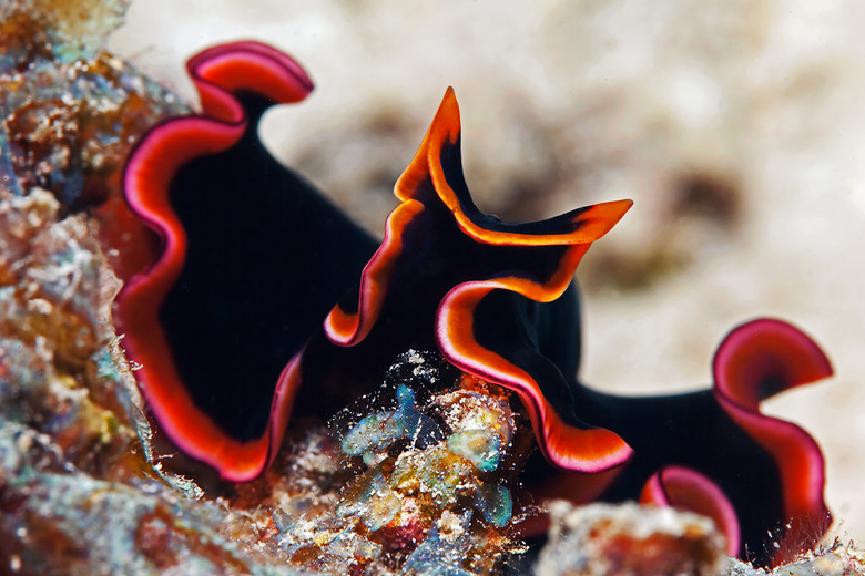 Flatworm - Platworm is een platte slak (ongeveer 6cm lang) die in tropische wateren leeft.