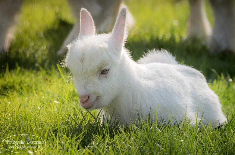 Uitgeteld ........ - Na een paar uur spelen, rennen en springen ging dit pasgeboren geitje uitgeteld in het gras liggen. Wat een dotje