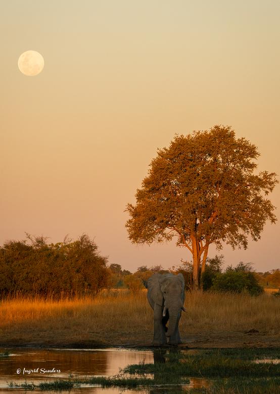 Twilight - Zonsondergang aan de ene kant, maanopkomst aan de andere kant en een dorstige olifant ertussen.