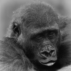 Gorilla in Burgers' Zoo 1