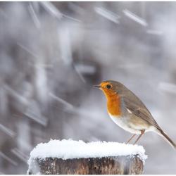 Robin in de sneeuw