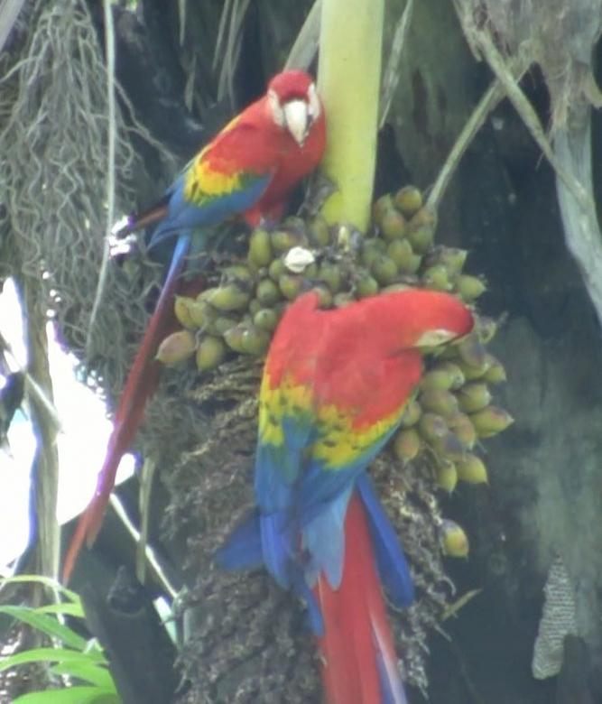 rode ara papegaai