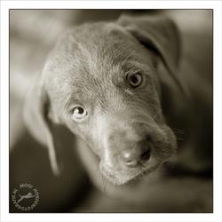 SRSH pup