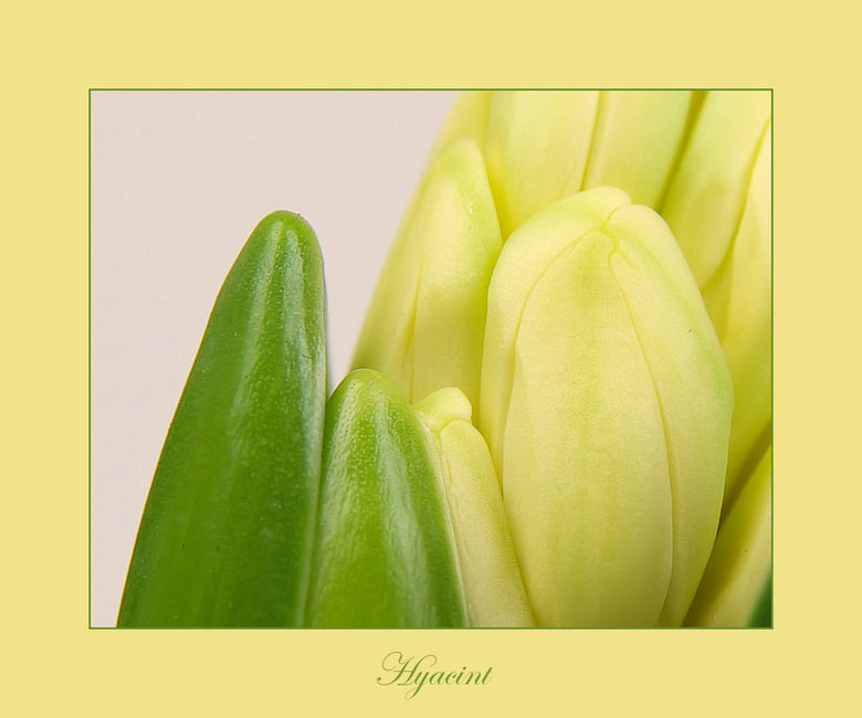 Hyacint -