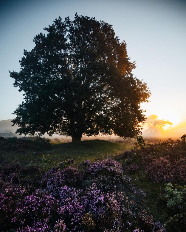 De heide in bloei - Met de opkomende zon die door de mist heen schijnt en de paarse heide in bloei, voelde het even alsof ik in een droomwereld beland