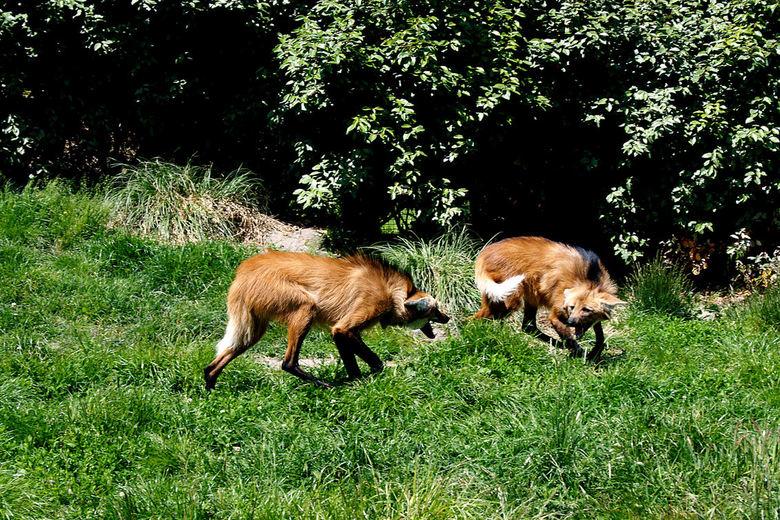 Vechten - Afgelopen zaterdag liep ik in Blijdorp toen deze twee maanwolven ruzie kregen.<br /> Ja dan moet je vlug zijn en hopen dat ze er een beetje