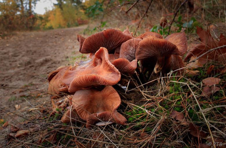 zwammen - Een groepje zwammen naast een bospad. Ik ben op zoek geweest naar de naam van deze zwam maar heb deze (helaas) niet kunnen vinden.