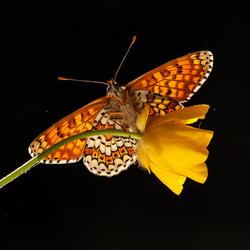 veldparelmoervlinder in tegenlicht