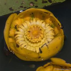 Gele plomp (Nuphar lutea)