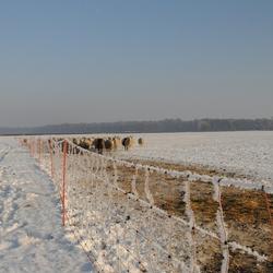 winter (schapen met een winterjas )