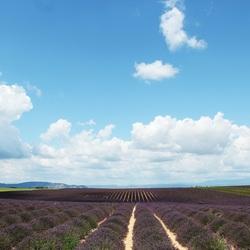 Lavendel velden