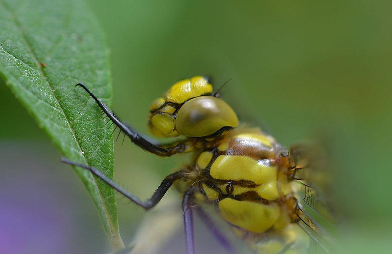 Libel close - Libellen  kunnen de vleugels onafhankelijk van elkaar bewegen. Ze kunnen net als een helikopter op een plek stil te staan, achteruit of