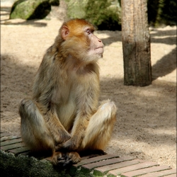 Berber aap