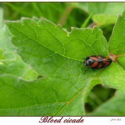 Bloed cicade