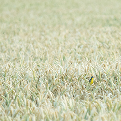 Lonely bird searching for friends on a wheat field