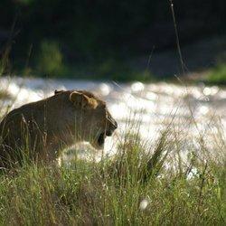 Leeuw in afrika bij de rivier