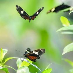 Doris-Passiebloemvlinder