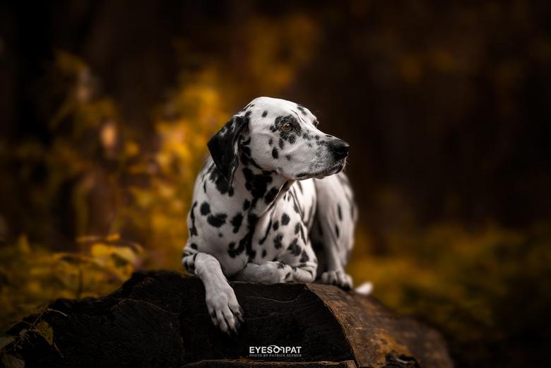 S H I V A - Ontspannen en gefocust op een voorbijkomende hond. Foto is gemaakt met de Sigma 135mm f/1.8.
