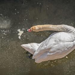 zwaan op het ijs
