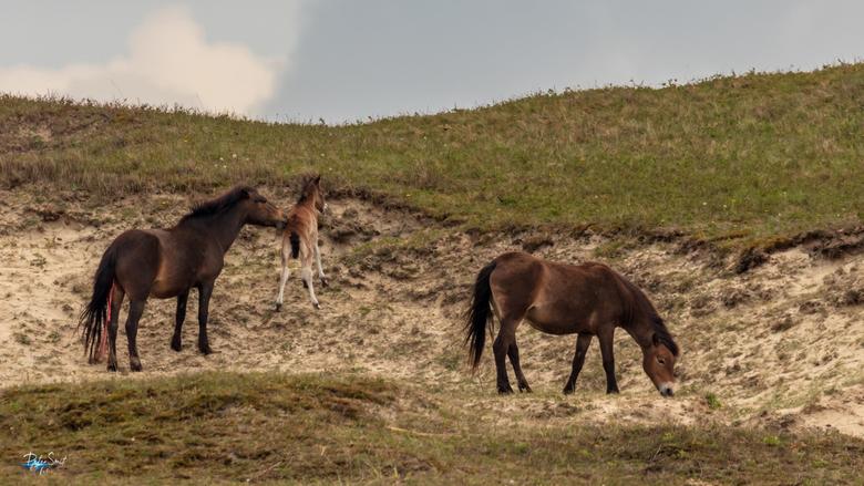 Paard met pasgeboren veulen - Tijdens een duinwandeling zagen we vanaf het wandelpad een (konik)paard met een pasgeboren veulen. Het veulen moest het