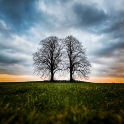 Als twee bomen één lijken