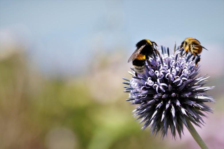 Hommel en Bij - Hommel en Bij gezamenlijk op een distel bol genietend van de nectar en stuifmeel van de bloem.<br /> 8-7-2020