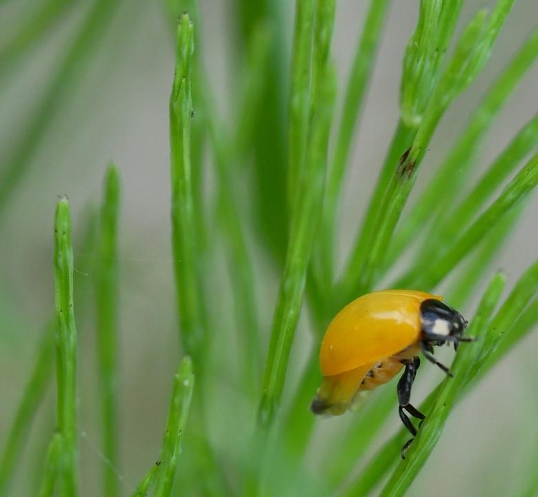 AHA! Daar zijn dus m'n stippen!  - Een eerdere (ietwat onscherpere foto) vroeg ik me af hoe 't kon dat ik een totaal geel lieveheersbeestje zag.