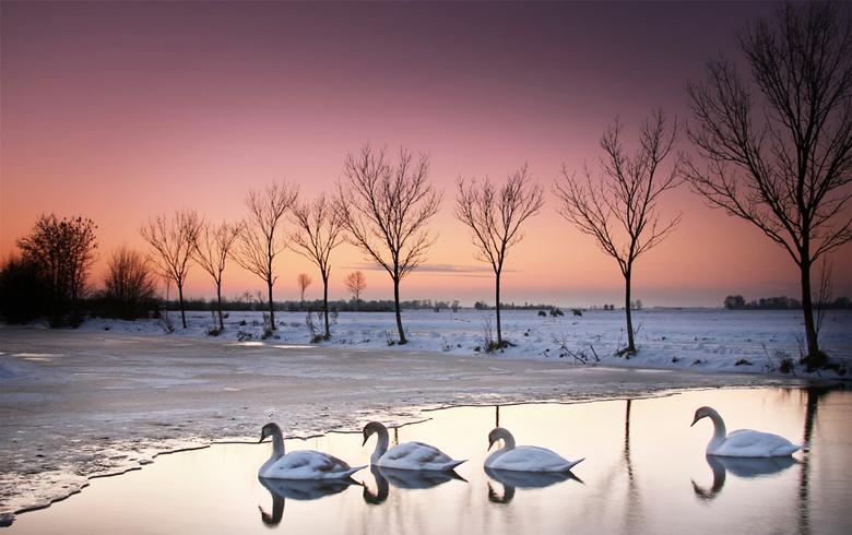 winteravondlicht - zwanen tijdens een winterse zonsondergang