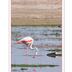 Greater Flamingo 3, Kenia