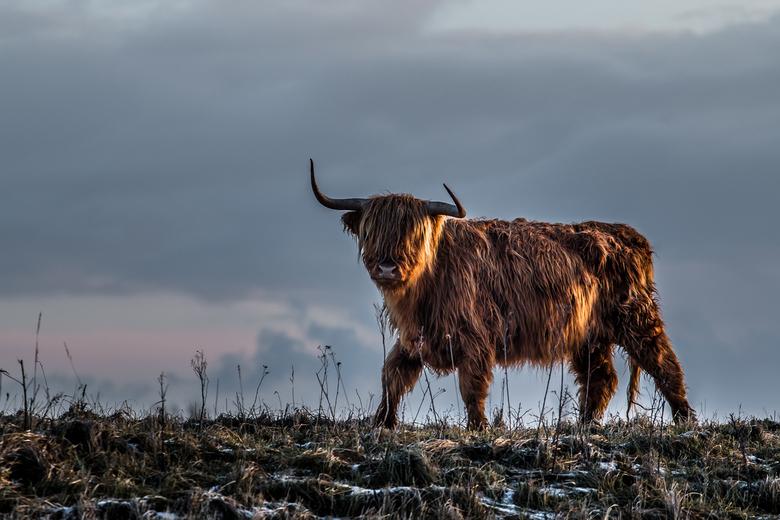 On the way - Een Schotse hooglander in het voorbij gaan.