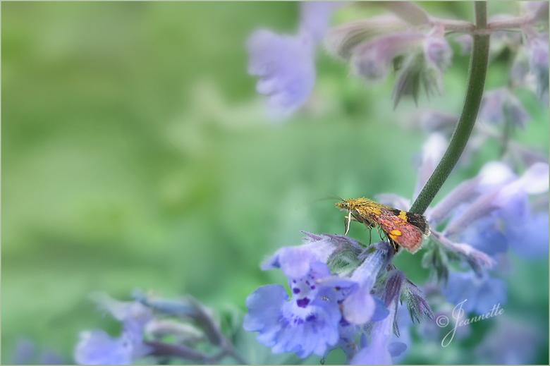 Muntvlindertje - Het muntvlindertje, een kleine soort vlinder met een spanwijdte van 10 tot 15 millimeter.<br /> Vliegt van april tot september en vo