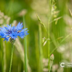 Korenbloem in het veld