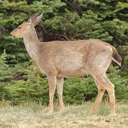 Mama Elk