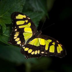 Philaethria wernickei