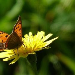 Vol vuur vlinder