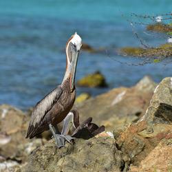 Pelikaan op Aruba