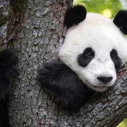 Wu Wen, reuzenpanda in Ouwehands Dierenpark Rhenen