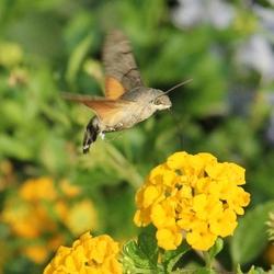 Kolibrie vlinder-1