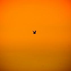 Unindentified Flying Seagull