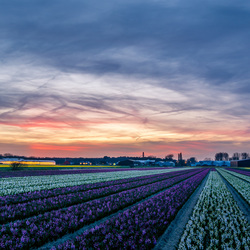 Hyacintenvelden