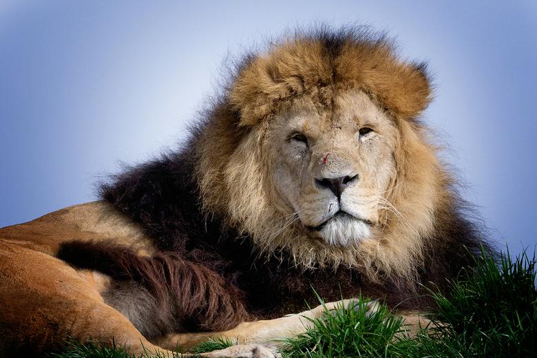 The lionKing!