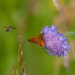 Groot dikkopje met vliegend insect