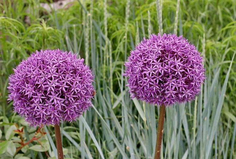 De Allium Globemaster - is veruit de grootste bolbloem, bestaat uit meer dan 1500 kleine bloemetjes en heeft een doorsnede van 20 cm.<br /> De bloei