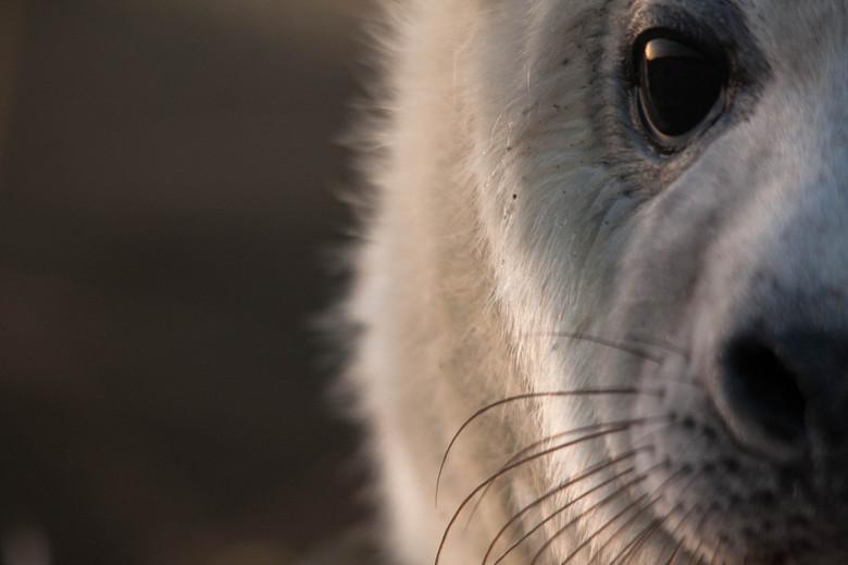 Grijze Zeehond - Nog een foto van mn reisje naar Helgoland van vorige week, deze jonge grijze zeehond was maar wat nieuwschierig wat ik er op de vroeg