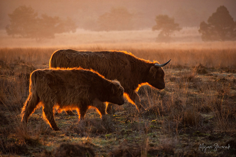 Schotse hooglanders met een gouden randje - Magisch licht tijdens zonsopkomst op de Veluwe. Zaterdag 20-12-2020