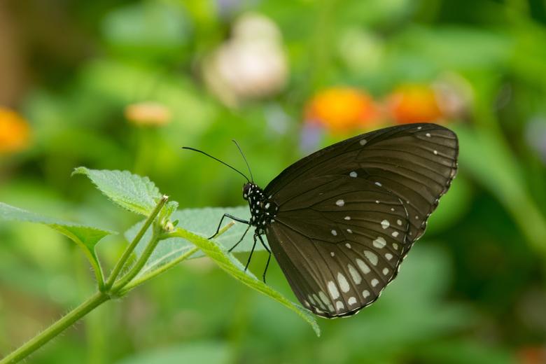 Euploea core - Nymphalidae familie.<br /> Verspreiding in Australaziatisch gebied