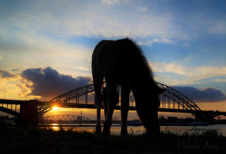 Silhouette van een Koningspaard veulen  - Silhouette van een Koningspaard veulentje op het Waalstrand bij Nijmegen.