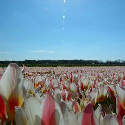 Wit-roze tulpen